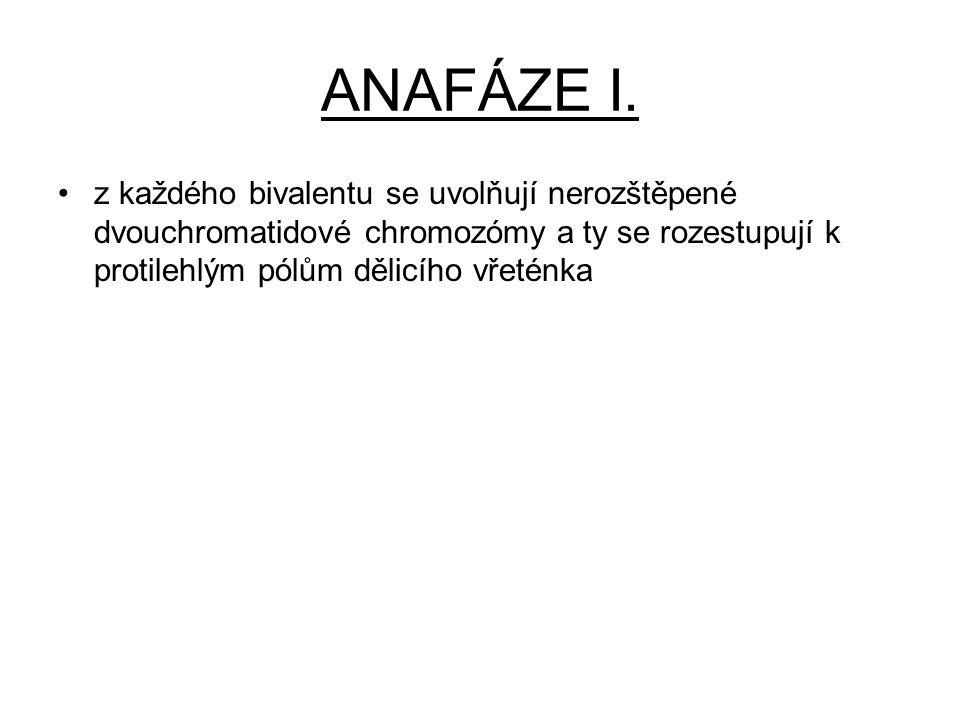 ANAFÁZE I. z každého bivalentu se uvolňují nerozštěpené dvouchromatidové chromozómy a ty se rozestupují k protilehlým pólům dělicího vřeténka