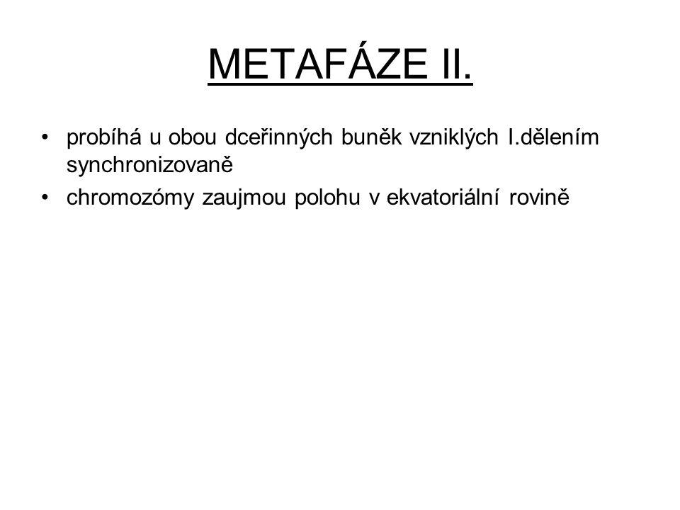 METAFÁZE II. probíhá u obou dceřinných buněk vzniklých I.dělením synchronizovaně chromozómy zaujmou polohu v ekvatoriální rovině