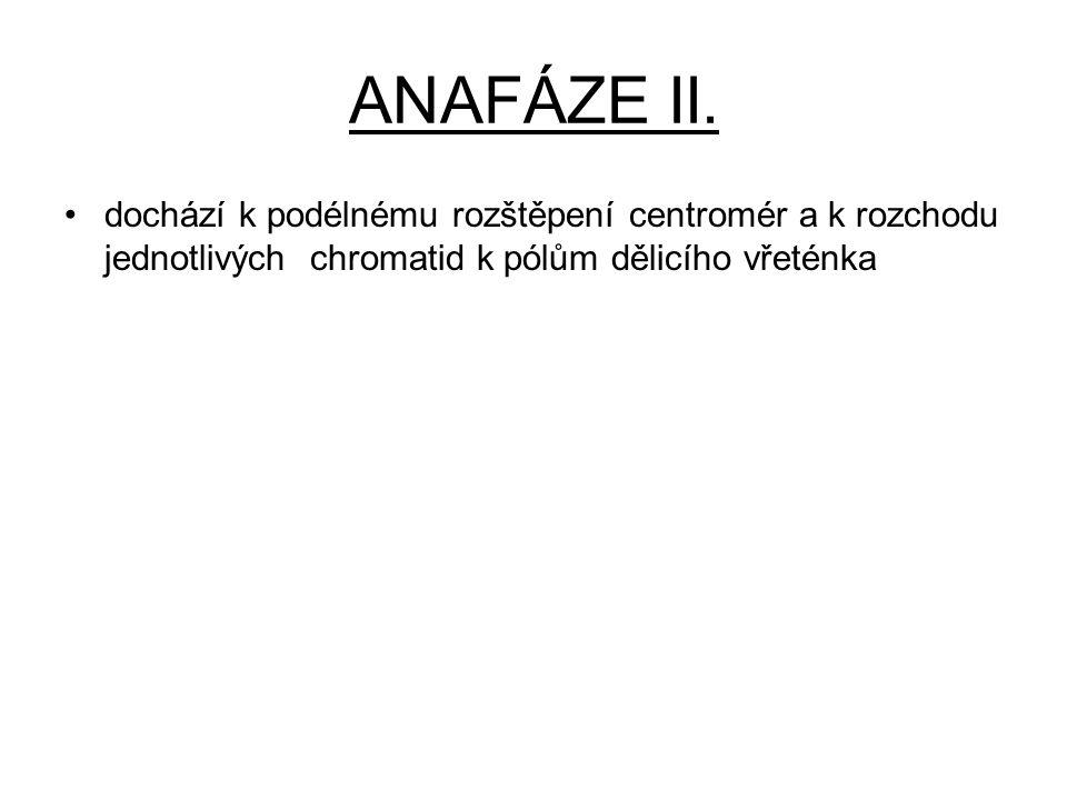 ANAFÁZE II. dochází k podélnému rozštěpení centromér a k rozchodu jednotlivých chromatid k pólům dělicího vřeténka