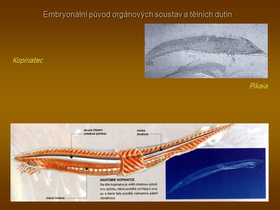 Embryonální původ orgánových soustav a tělních dutin Kopinatec Pikaia
