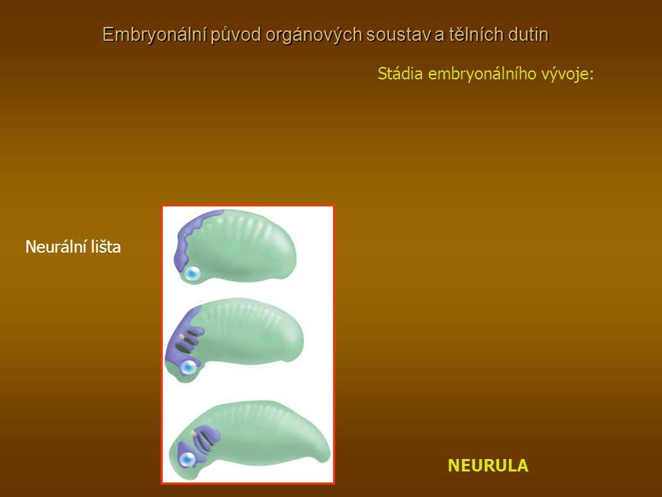 Stádia embryonálního vývoje: NEURULA Neurální lišta
