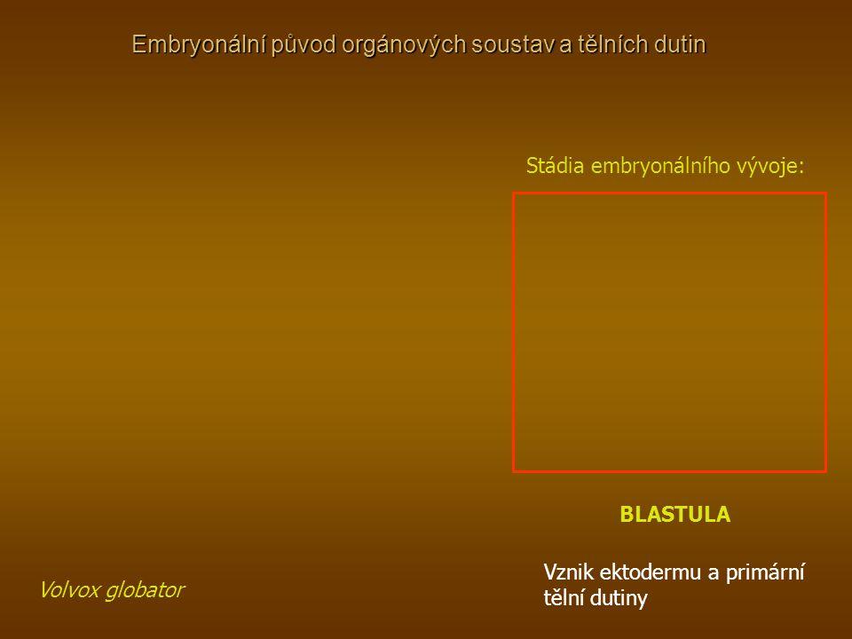 Embryonální původ orgánových soustav a tělních dutin Stádia embryonálního vývoje: BLASTULA Volvox globator Vznik ektodermu a primární tělní dutiny