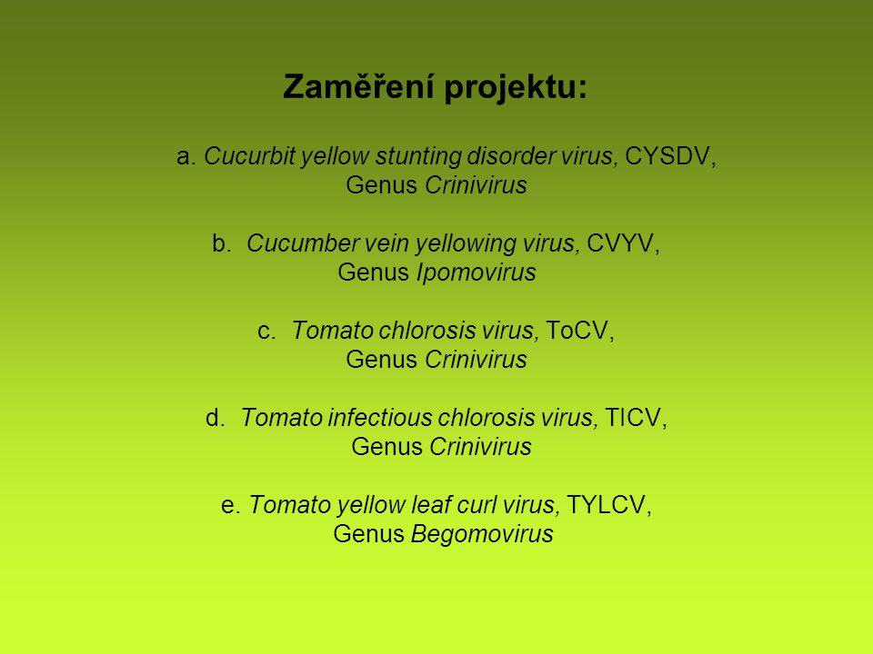 Zaměření projektu: a. Cucurbit yellow stunting disorder virus, CYSDV, Genus Crinivirus b.