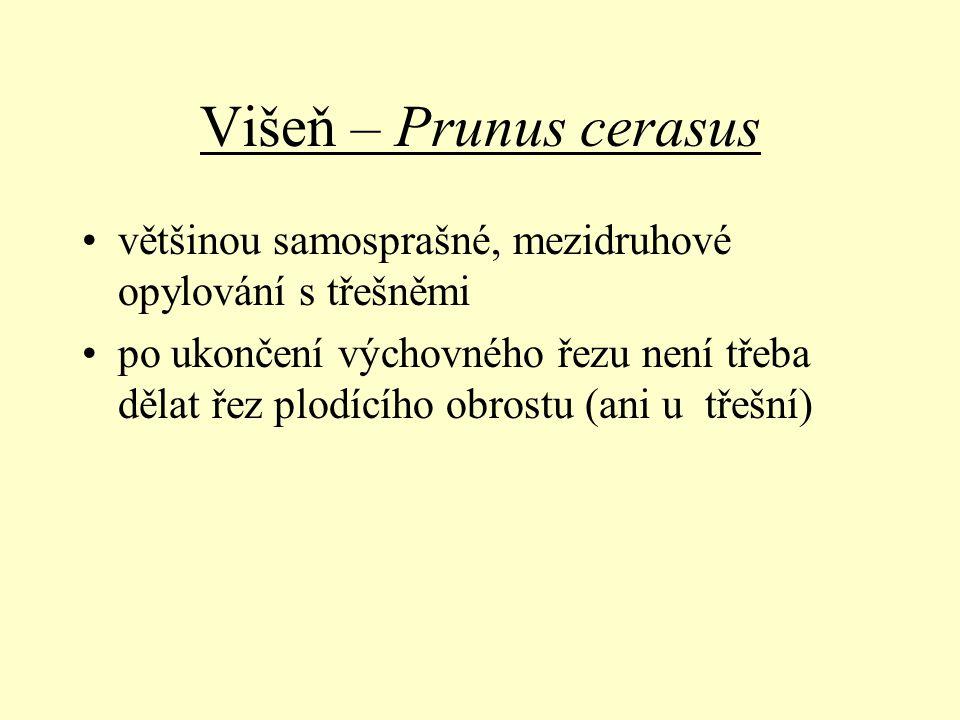 Višeň – Prunus cerasus většinou samosprašné, mezidruhové opylování s třešněmi po ukončení výchovného řezu není třeba dělat řez plodícího obrostu (ani