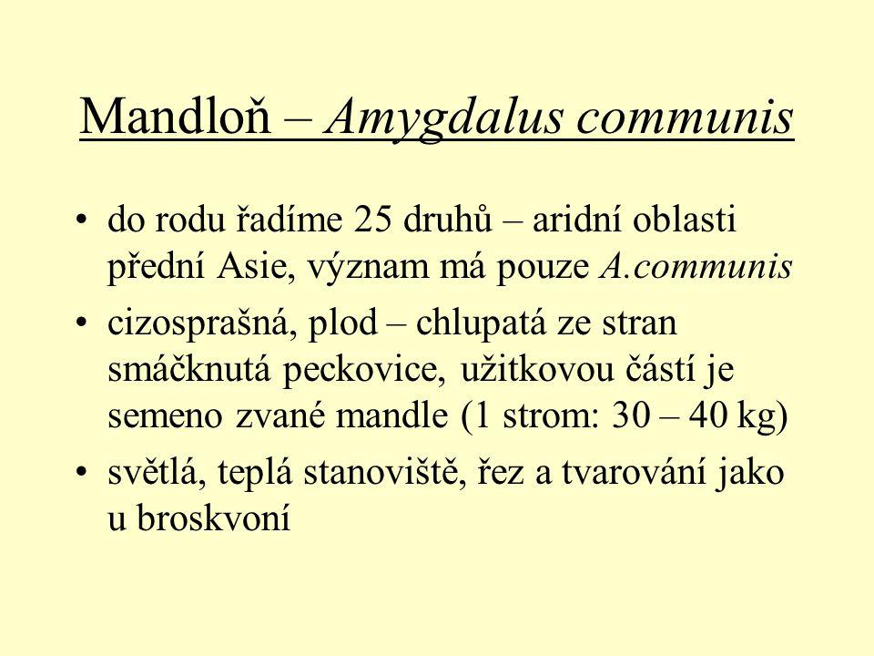 Mandloň – Amygdalus communis do rodu řadíme 25 druhů – aridní oblasti přední Asie, význam má pouze A.communis cizosprašná, plod – chlupatá ze stran sm