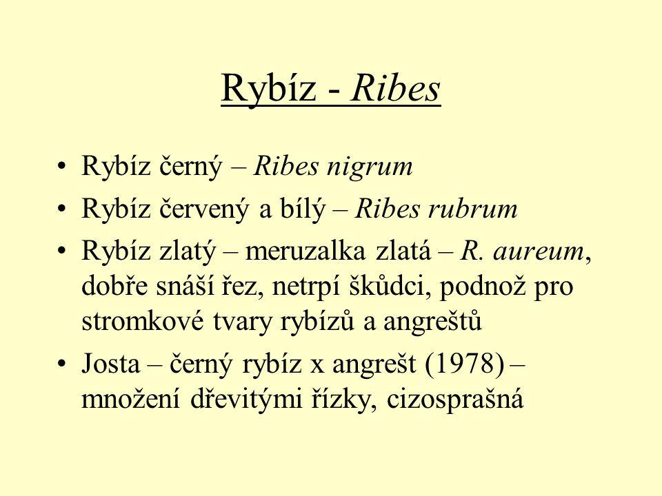 Rybíz - Ribes Rybíz černý – Ribes nigrum Rybíz červený a bílý – Ribes rubrum Rybíz zlatý – meruzalka zlatá – R. aureum, dobře snáší řez, netrpí škůdci