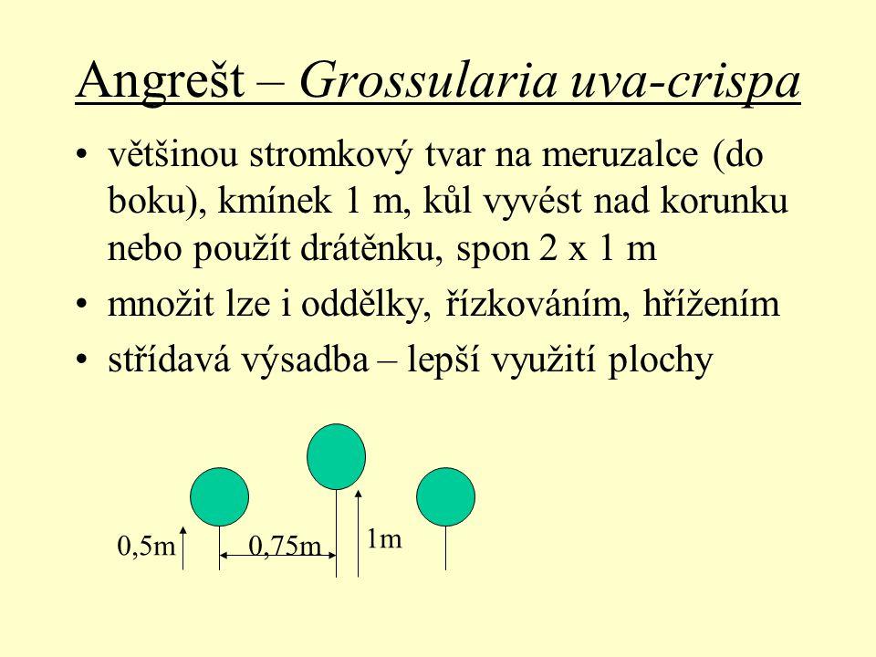 Angrešt – Grossularia uva-crispa většinou stromkový tvar na meruzalce (do boku), kmínek 1 m, kůl vyvést nad korunku nebo použít drátěnku, spon 2 x 1 m