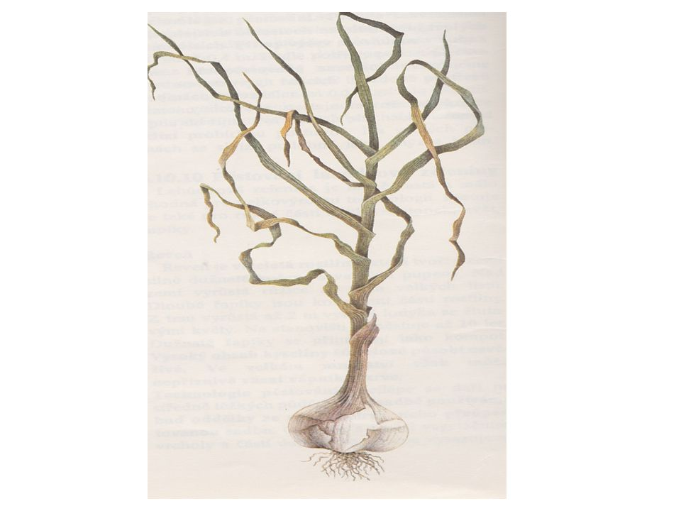 Rozdělení 1) paličáky  tvoří květní stvol  stroužky fialové, šupiny narůžovělé, složené do dvou řad – obvodové a středové  pěstují se většinou jako zimní  mají horší skladovatelnost