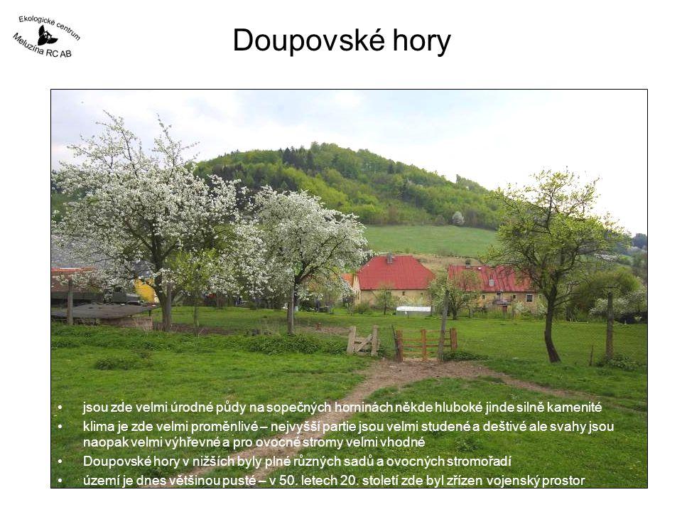 Období 2006 - 2010 výrazně teplomilná dřevina plody k výrobě: –marmelád –destilátů velmi ceněná v lidovém léčitelství Spolupráce s CHKO České Středohoří