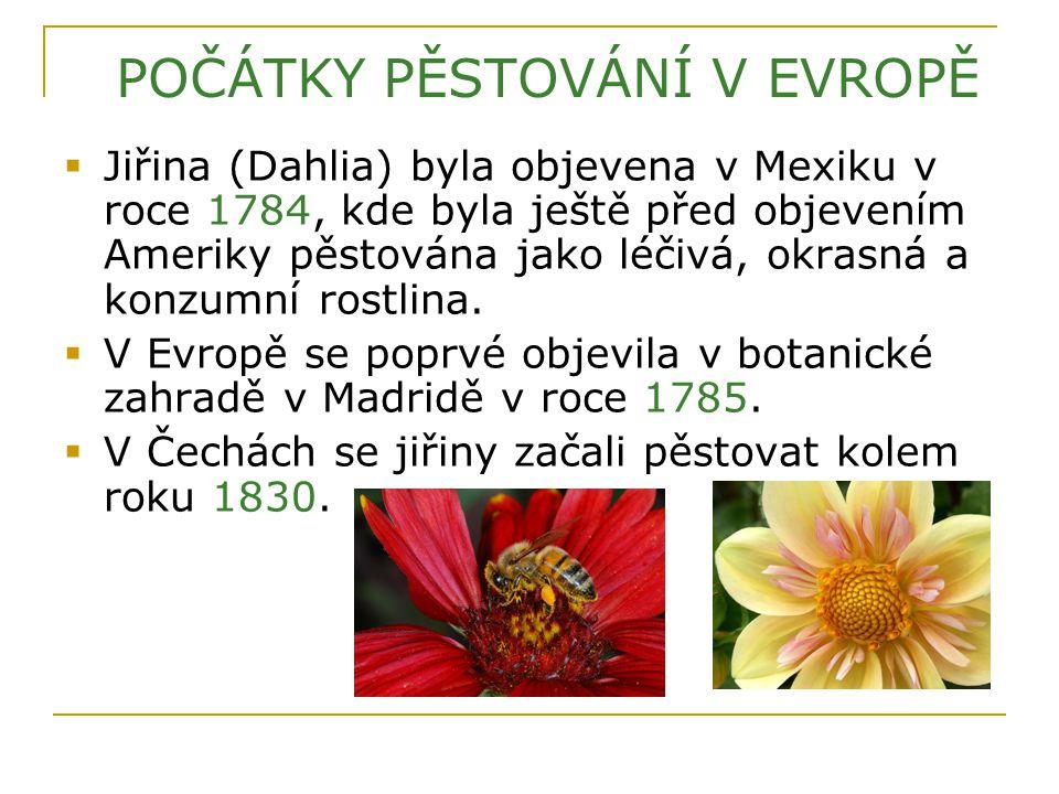  Jiřina (Dahlia) byla objevena v Mexiku v roce 1784, kde byla ještě před objevením Ameriky pěstována jako léčivá, okrasná a konzumní rostlina.  V Ev