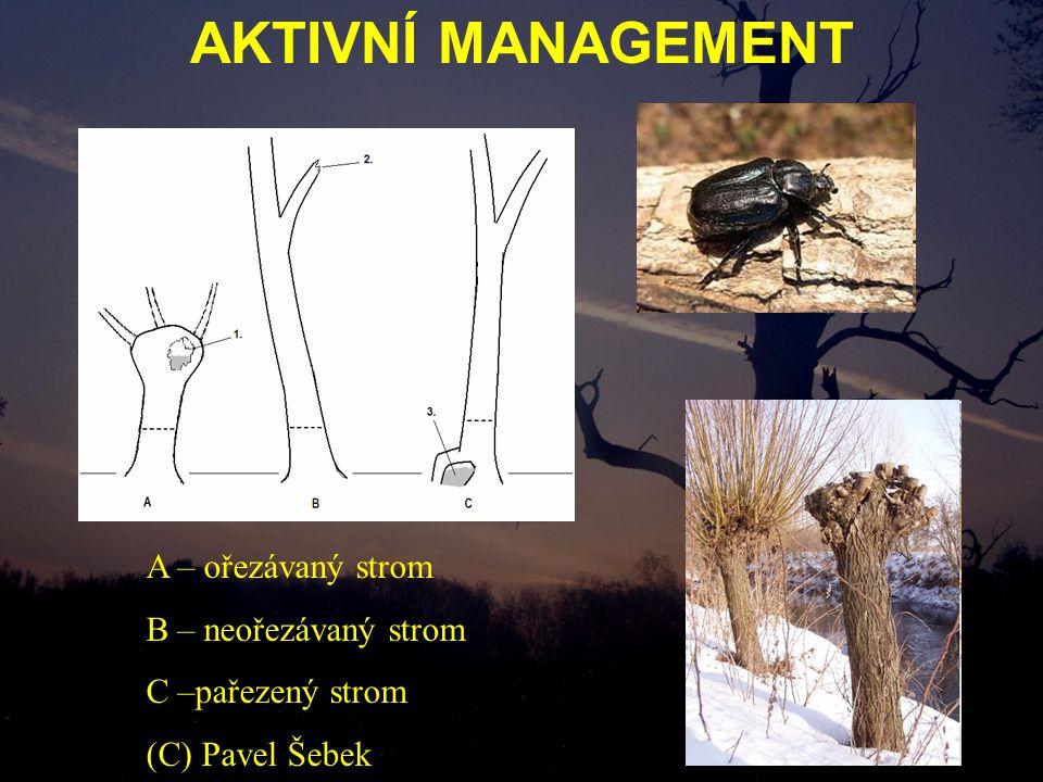 AKTIVNÍ MANAGEMENT A – ořezávaný strom B – neořezávaný strom C –pařezený strom (C) Pavel Šebek