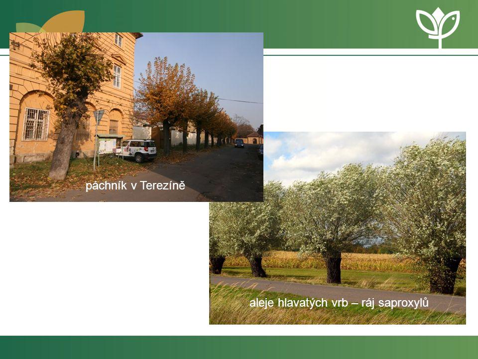 páchník v Terezíně aleje hlavatých vrb – ráj saproxylů
