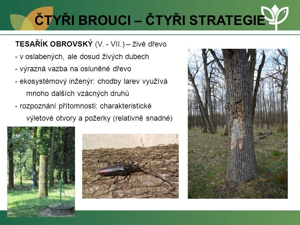 ČTYŘI BROUCI – ČTYŘI STRATEGIE TESAŘÍK OBROVSKÝ (V. - VII.) – živé dřevo - v oslabených, ale dosud živých dubech - výrazná vazba na osluněné dřevo - e
