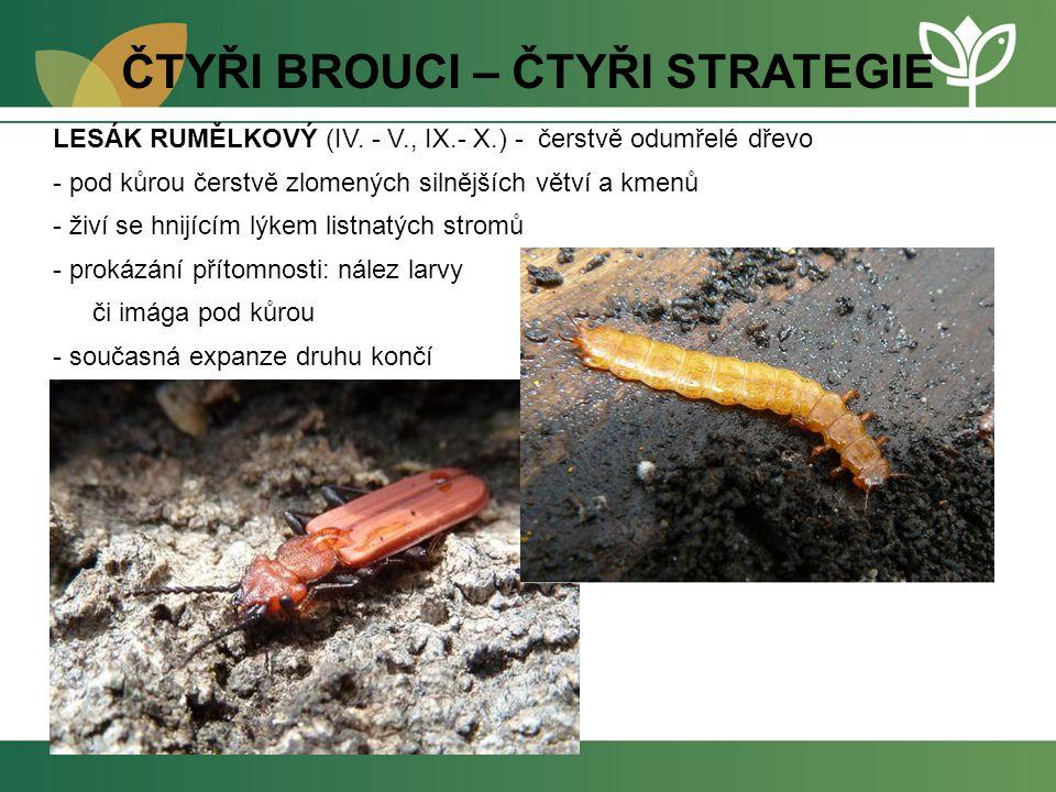 ČTYŘI BROUCI – ČTYŘI STRATEGIE LESÁK RUMĚLKOVÝ (IV. - V., IX.- X.) - čerstvě odumřelé dřevo - pod kůrou čerstvě zlomených silnějších větví a kmenů - ž