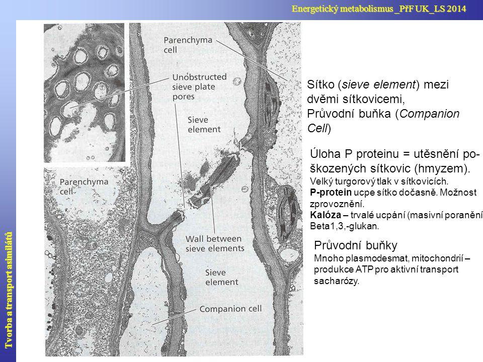 Sítko (sieve element) mezi dvěmi sítkovicemi, Průvodní buňka (Companion Cell) Úloha P proteinu = utěsnění po- škozených sítkovic (hmyzem). Velký turgo