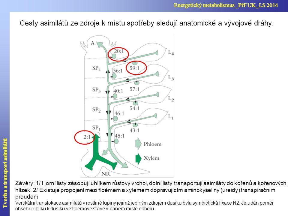 Cesty asimilátů ze zdroje k místu spotřeby sledují anatomické a vývojové dráhy. Závěry: 1/ Horní listy zásobují uhlíkem růstový vrchol, dolní listy tr