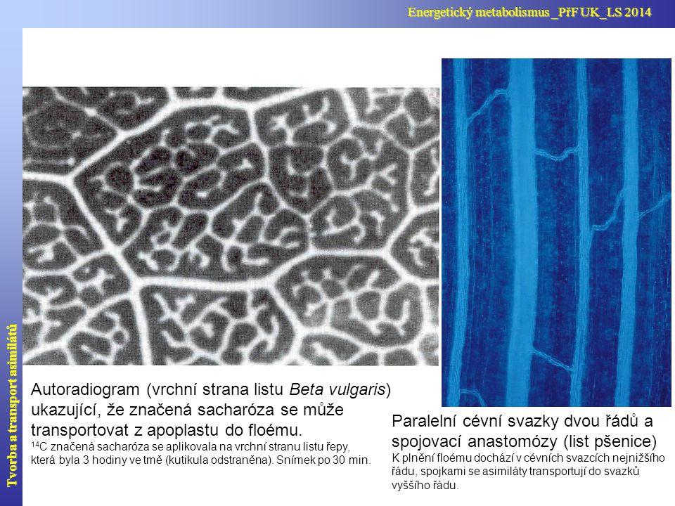 Autoradiogram (vrchní strana listu Beta vulgaris) ukazující, že značená sacharóza se může transportovat z apoplastu do floému. 14 C značená sacharóza