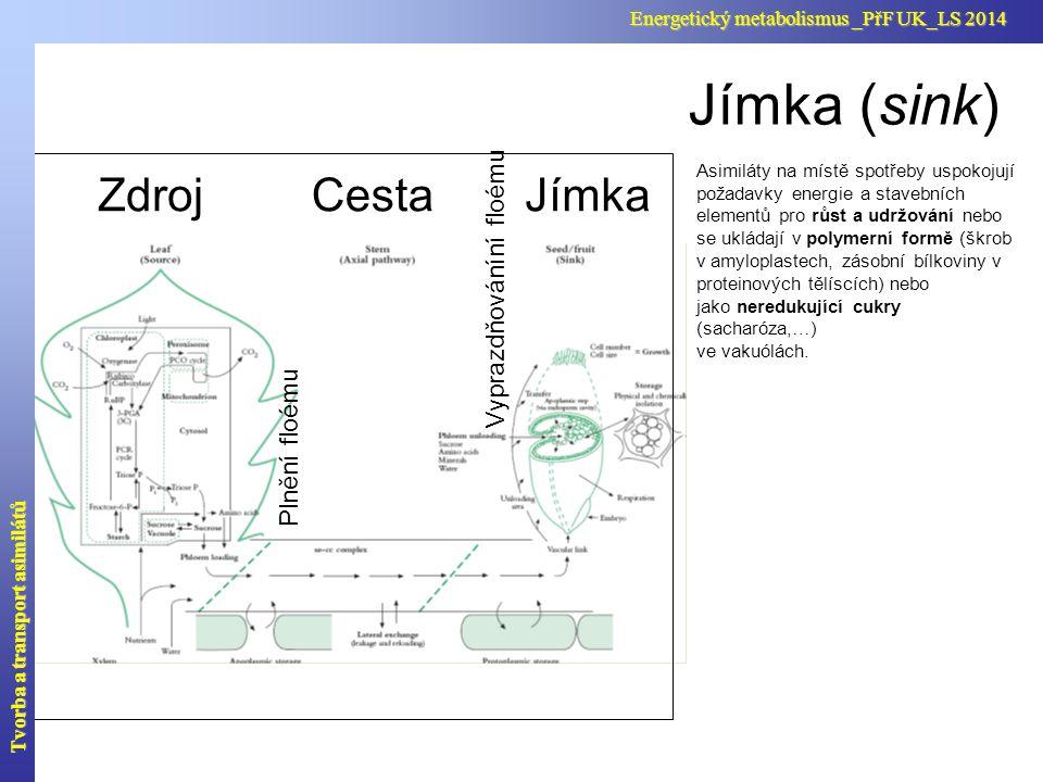 Asimiláty na místě spotřeby uspokojují požadavky energie a stavebních elementů pro růst a udržování nebo se ukládají v polymerní formě (škrob v amylop