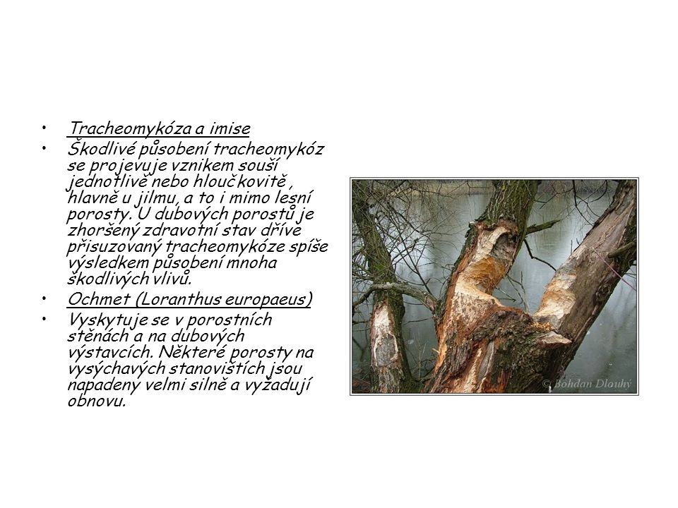 Tracheomykóza a imise Škodlivé působení tracheomykóz se projevuje vznikem souší jednotlivě nebo hloučkovitě, hlavně u jilmu, a to i mimo lesní porosty
