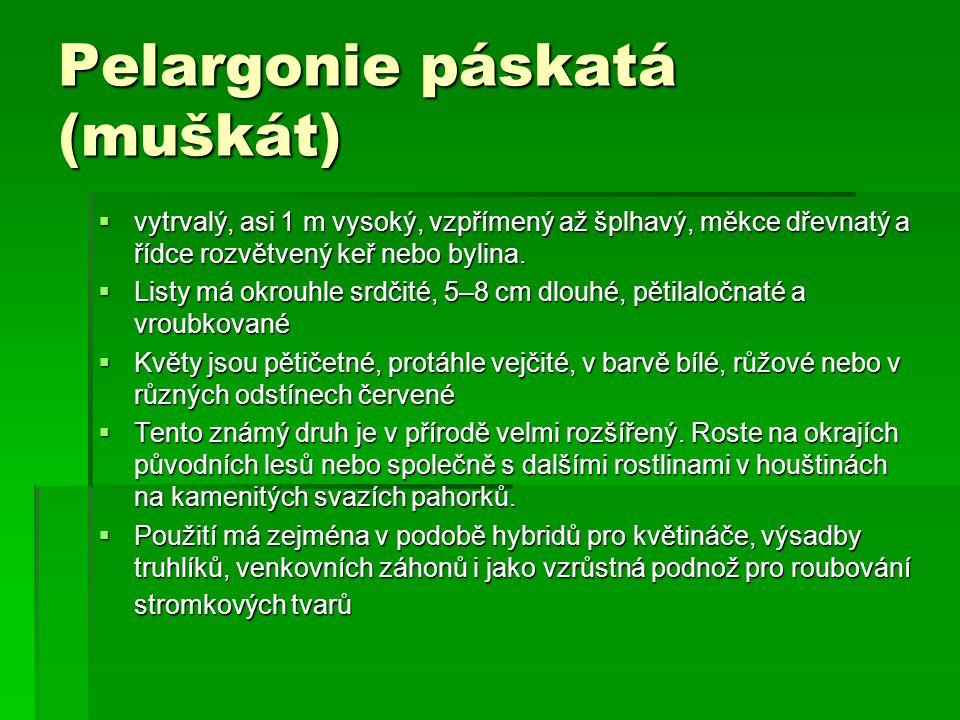 Pelargonie páskatá (muškát)  vytrvalý, asi 1 m vysoký, vzpřímený až šplhavý, měkce dřevnatý a řídce rozvětvený keř nebo bylina.  Listy má okrouhle s