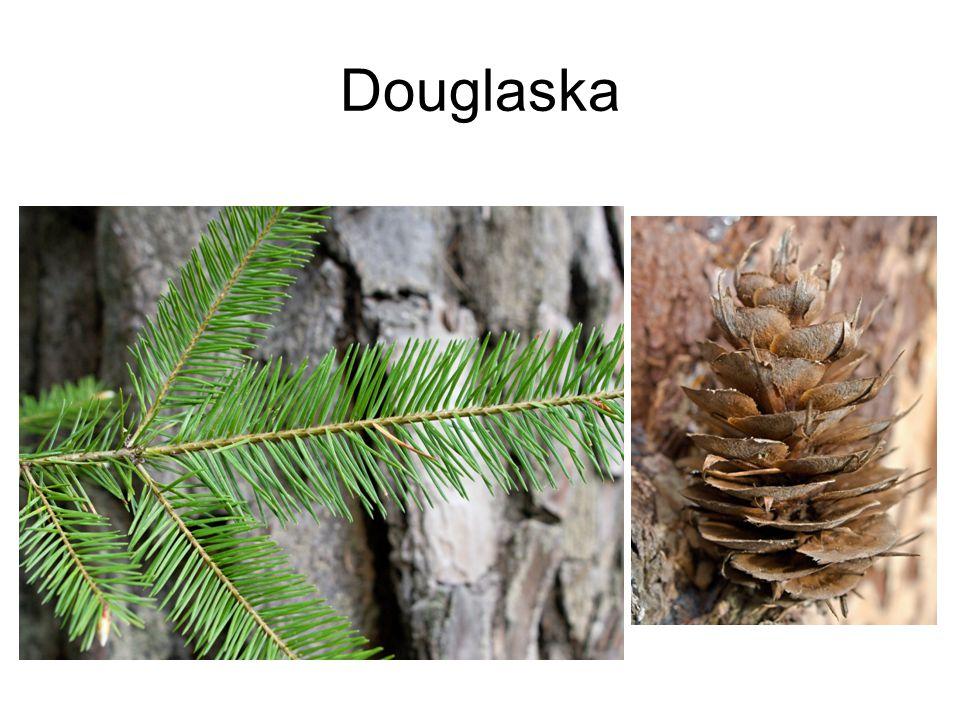 Douglaska