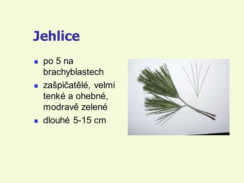 Jehlice po 5 na brachyblastech zašpičatělé, velmi tenké a ohebné, modravě zelené dlouhé 5-15 cm
