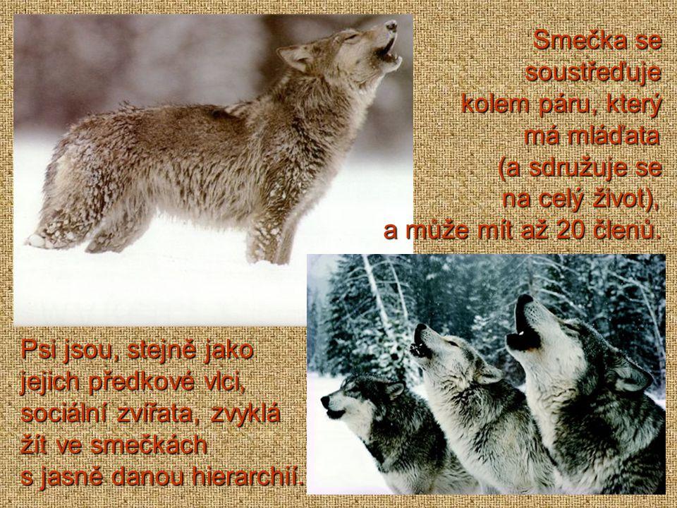 Pes domácí je domestikovaný poddruh vlka obecného, nejstarší poddruhvlka obecnéhopoddruhvlka obecného domestikované zvíře vůbec.