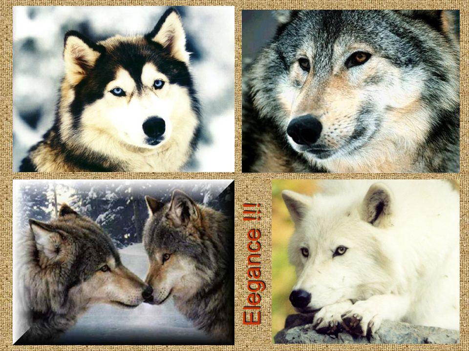 Psi jsou, stejně jako jejich předkové vlci, sociální zvířata, zvyklá žít ve smečkách s jasně danou hierarchií.