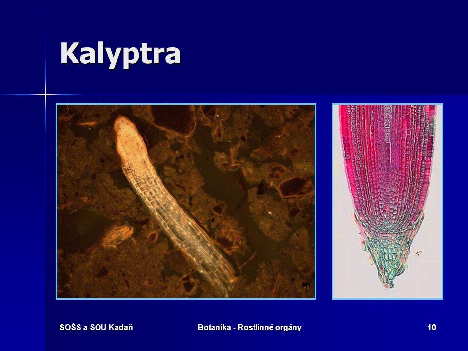 SOŠS a SOU KadaňBotanika - Rostlinné orgány9 Kalyptra Kořenová čepička Kořenová čepička Na růstovém vrcholu kořene Na růstovém vrcholu kořene Vzniká z