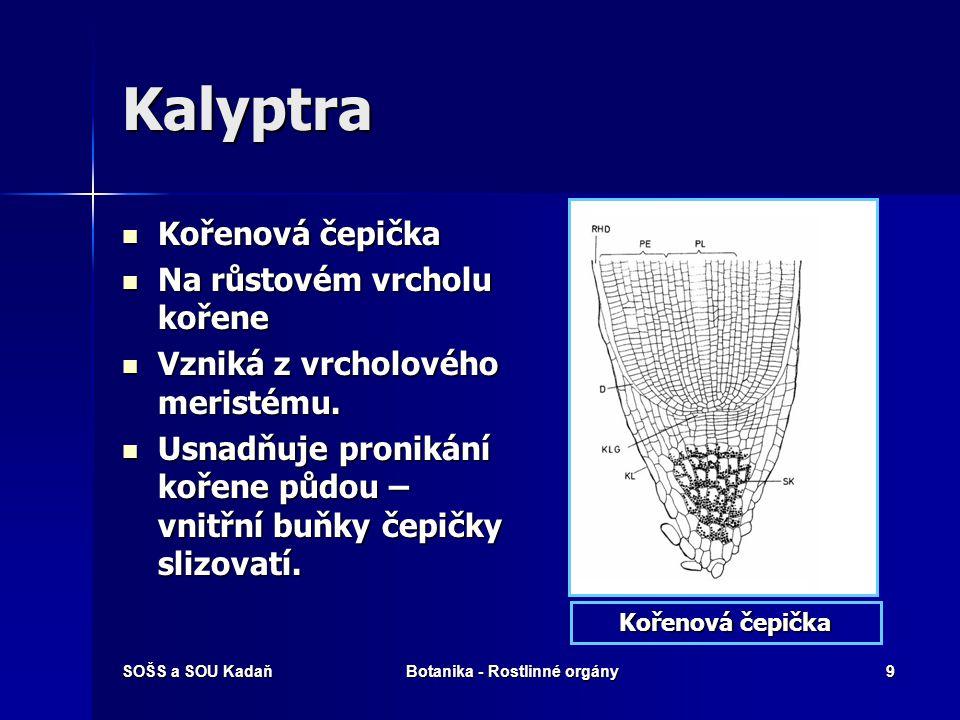 SOŠS a SOU KadaňBotanika - Rostlinné orgány8 Rhizodermis Pokožka kořene Pokožka kořene Nemá vyvinutou kutikulu. Nemá vyvinutou kutikulu. Vnitřní stavb