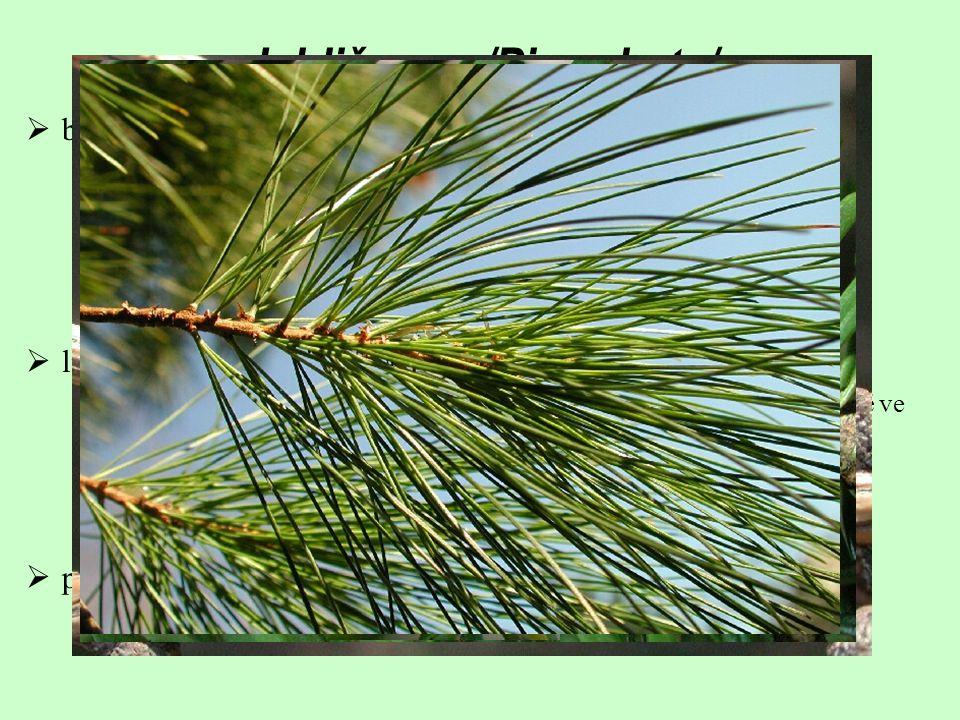 Jehličnany /Pinophyta/  bohatě rozvětvené stromy (vzácněji keře)  většinou s jedním větveným kmenem  boční větve často uspořádány patrovitě  možná