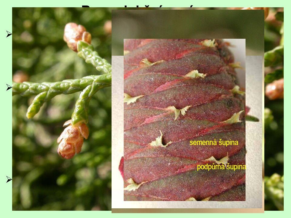  opylení  často prostřednictvím polynační kapky  samičí  zpravidla složené  tvořeny listeny (podpůrné šupiny) uspořádanými ve šroubovici (vstřícn