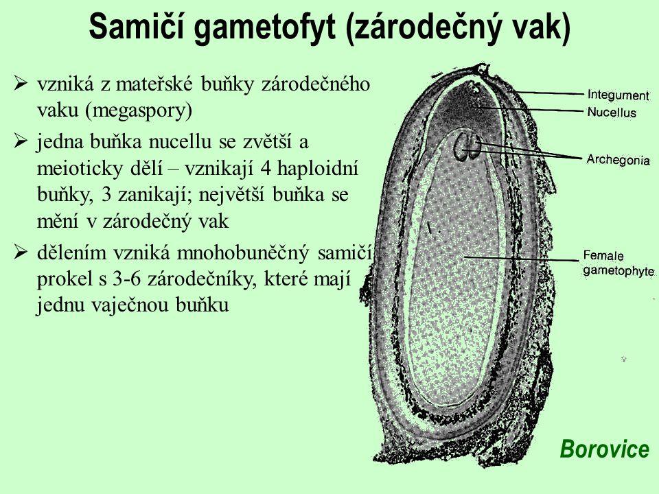 Samičí gametofyt (zárodečný vak)  vzniká z mateřské buňky zárodečného vaku (megaspory)  jedna buňka nucellu se zvětší a meioticky dělí – vznikají 4