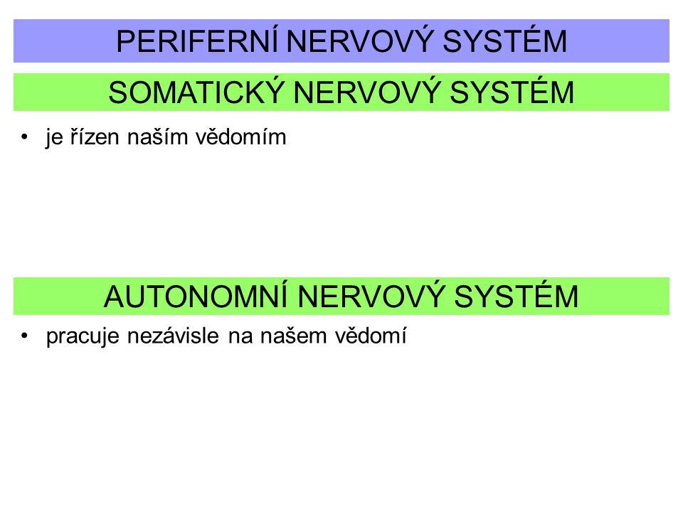 SOMATICKÝ NERVOVÝ SYSTÉM PERIFERNÍ NERVOVÝ SYSTÉM AUTONOMNÍ NERVOVÝ SYSTÉM je řízen naším vědomím pracuje nezávisle na našem vědomí