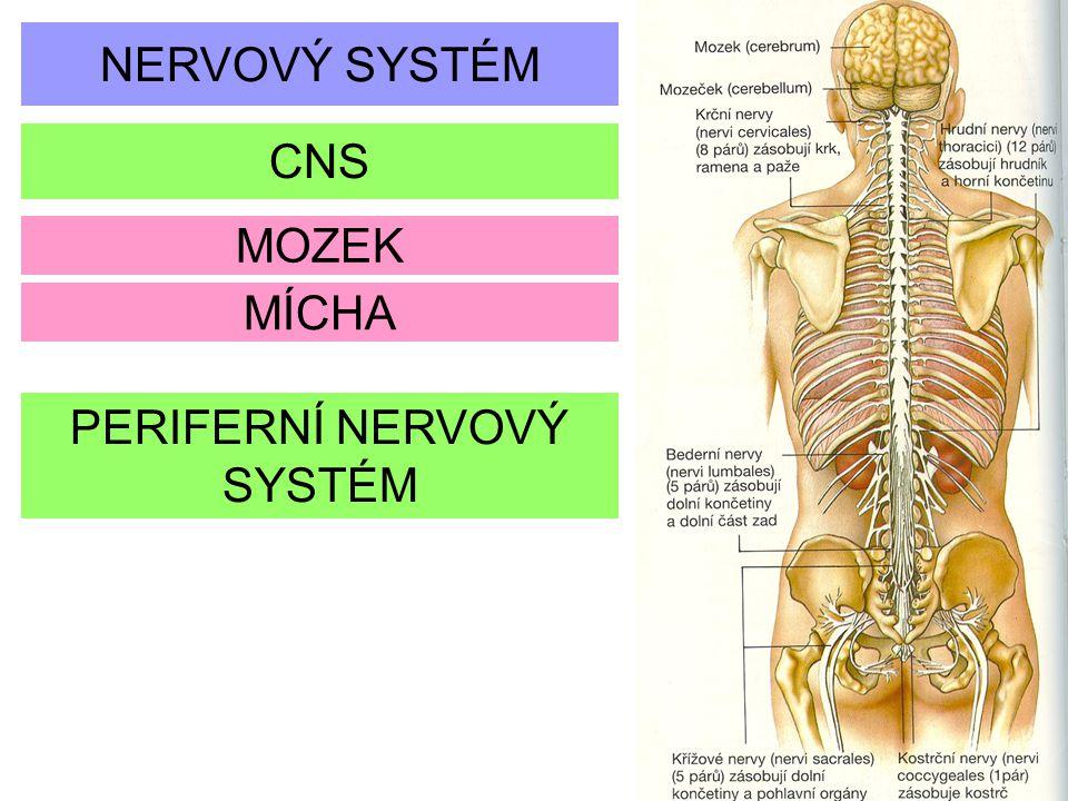 ŠEDÁ HMOTA je tvořená seskupením nervových buněk zadní a přední roh míšní v každé polovině přední roh tvoří motorické neurony, zadní roh se skládá z buněčných těl vmezeřených a senzorických neuronů BÍLÁ HMOTA obklopuje šedou hmotu je rozdělená do tří sloupců a obsahuje ascendentní (vzestupné) a descendentní (sestupné) nervy, které spojují mozek a míchu s periferním nervovým systémem v obou směrech sestupné nervy vedou motorické impulzy z mozku do periferního nervového systému, zatímco vzestupné nervy přinášejí senzorické impulzy do mozku