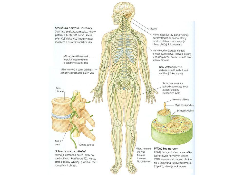 12 párů vystupuje z bazální části mozku zásobují hlavně smyslové orgány a svaly na hlavě bloudivý nerv (nervus vagus) – zásobuje trávicí orgány, srdce a dýchací cesty v plicích připojují se ke spodině mozku kořeny, většina z nich obsahuje vlákna jen jednoho typu HLAVOVÉ NERVY