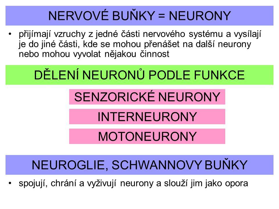 NERVOVÉ BUŇKY = NEURONY přijímají vzruchy z jedné části nervového systému a vysílají je do jiné části, kde se mohou přenášet na další neurony nebo moh