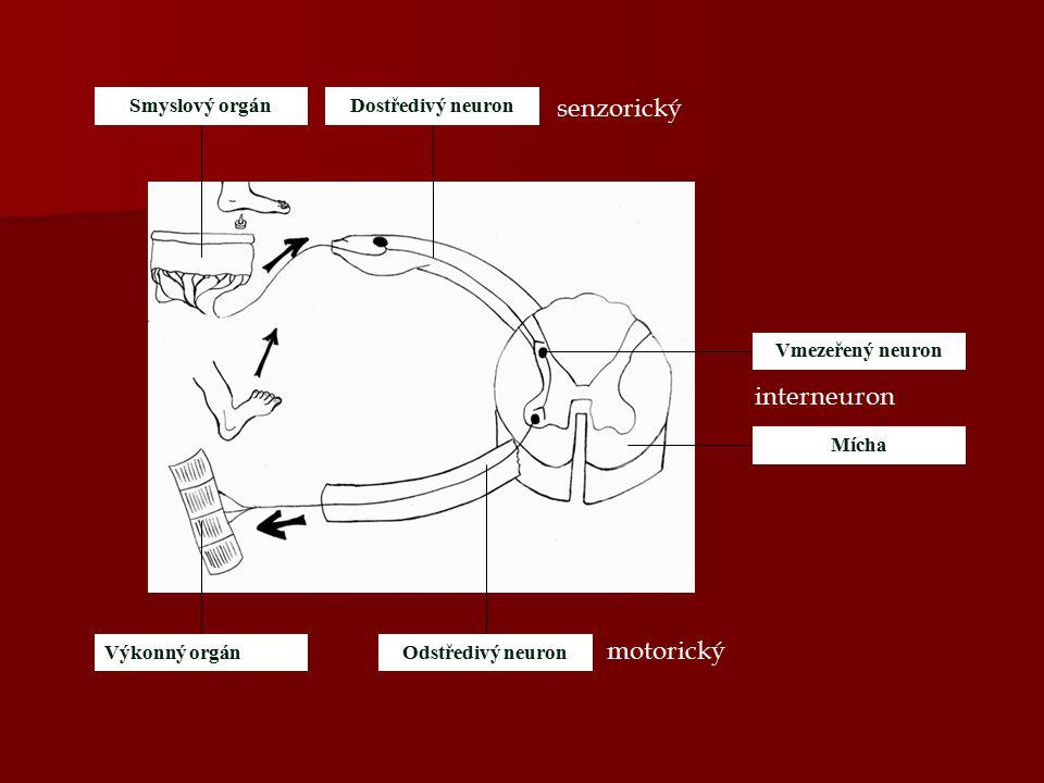 Vmezeřený neuron Mícha Výkonný orgánOdstředivý neuron Dostředivý neuronSmyslový orgán senzorický motorický interneuron