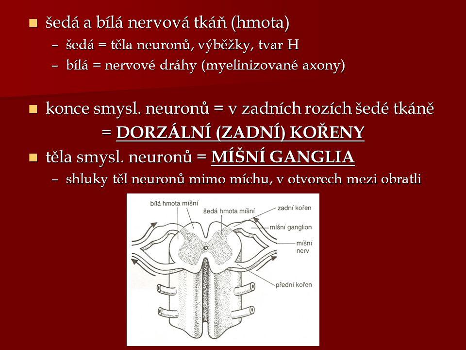 šedá a bílá nervová tkáň (hmota) šedá a bílá nervová tkáň (hmota) –šedá = těla neuronů, výběžky, tvar H –bílá = nervové dráhy (myelinizované axony) ko
