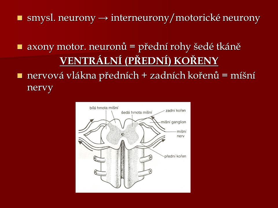 smysl. neurony → interneurony/motorické neurony smysl. neurony → interneurony/motorické neurony axony motor. neuronů = přední rohy šedé tkáně axony mo