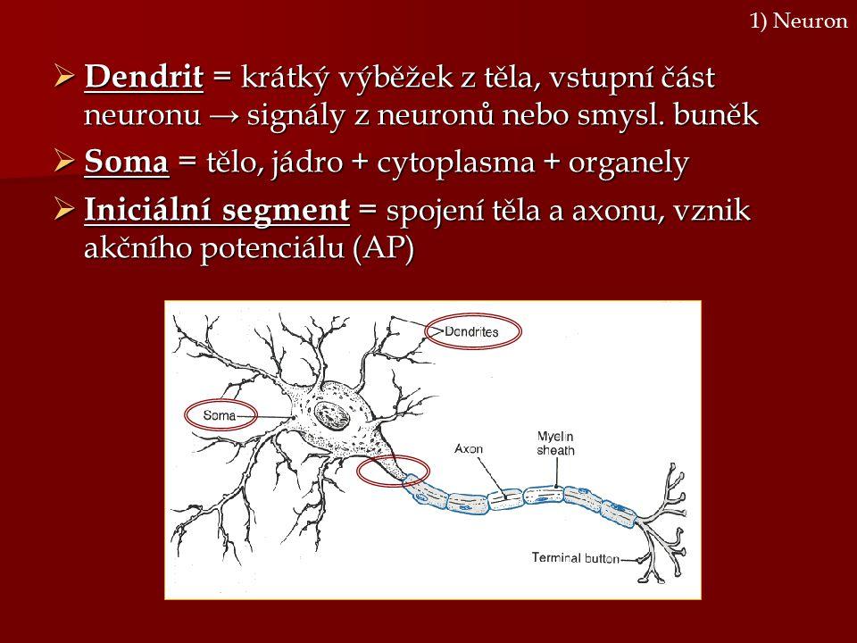  Dendrit = krátký výběžek z těla, vstupní část neuronu → signály z neuronů nebo smysl. buněk  Soma = tělo, jádro + cytoplasma + organely  Iniciální