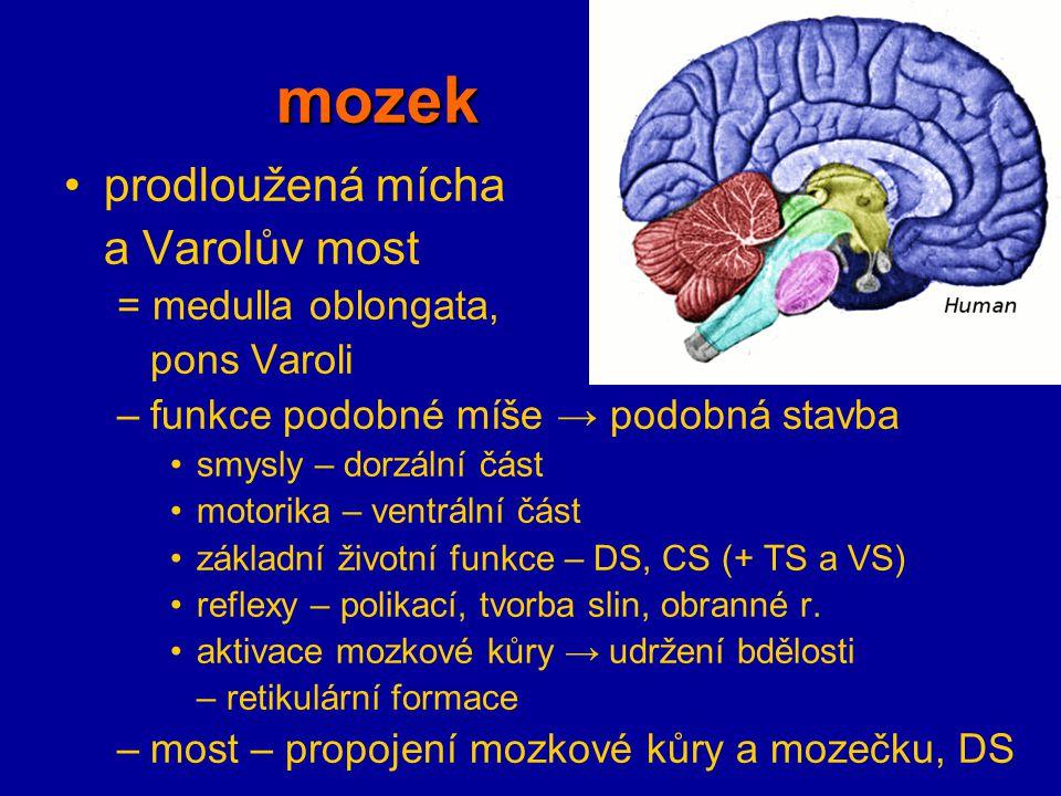 mozek prodloužená mícha a Varolův most = medulla oblongata, pons Varoli –funkce podobné míše → podobná stavba smysly – dorzální část motorika – ventrá
