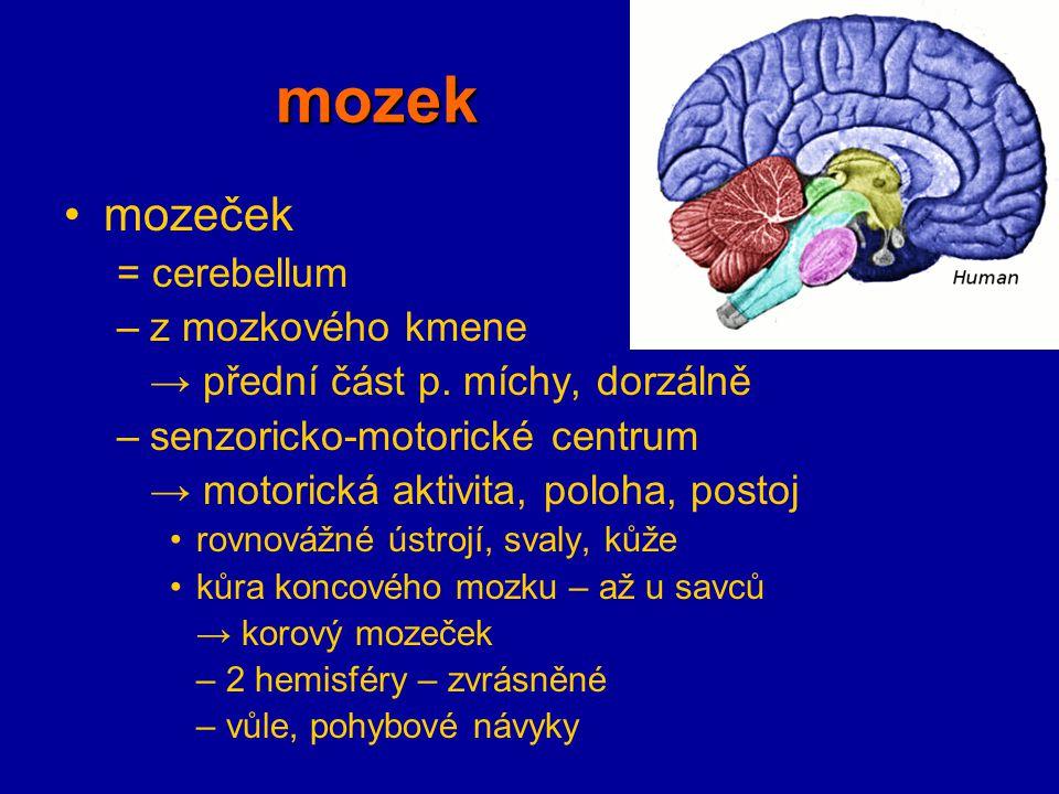 mozek mozeček = cerebellum –z mozkového kmene → přední část p. míchy, dorzálně –senzoricko-motorické centrum → motorická aktivita, poloha, postoj rovn
