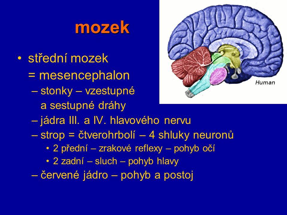 mozek střední mozek = mesencephalon –stonky – vzestupné a sestupné dráhy –jádra III. a IV. hlavového nervu –strop = čtverohrbolí – 4 shluky neuronů 2