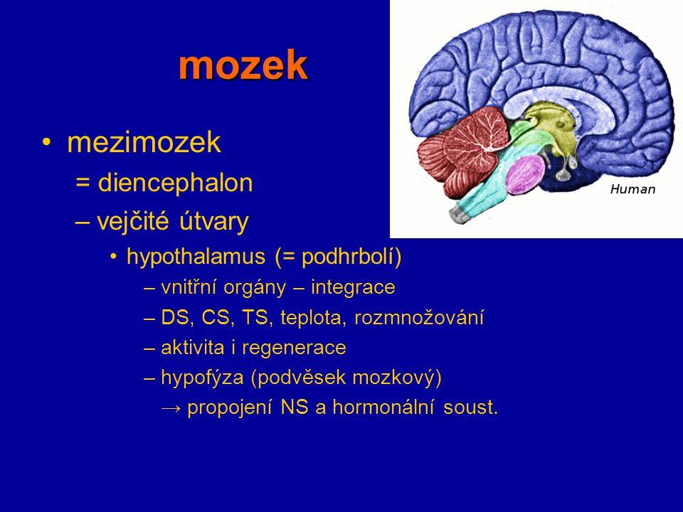 mozek mezimozek = diencephalon –vejčité útvary hypothalamus (= podhrbolí) –vnitřní orgány – integrace –DS, CS, TS, teplota, rozmnožování –aktivita i r