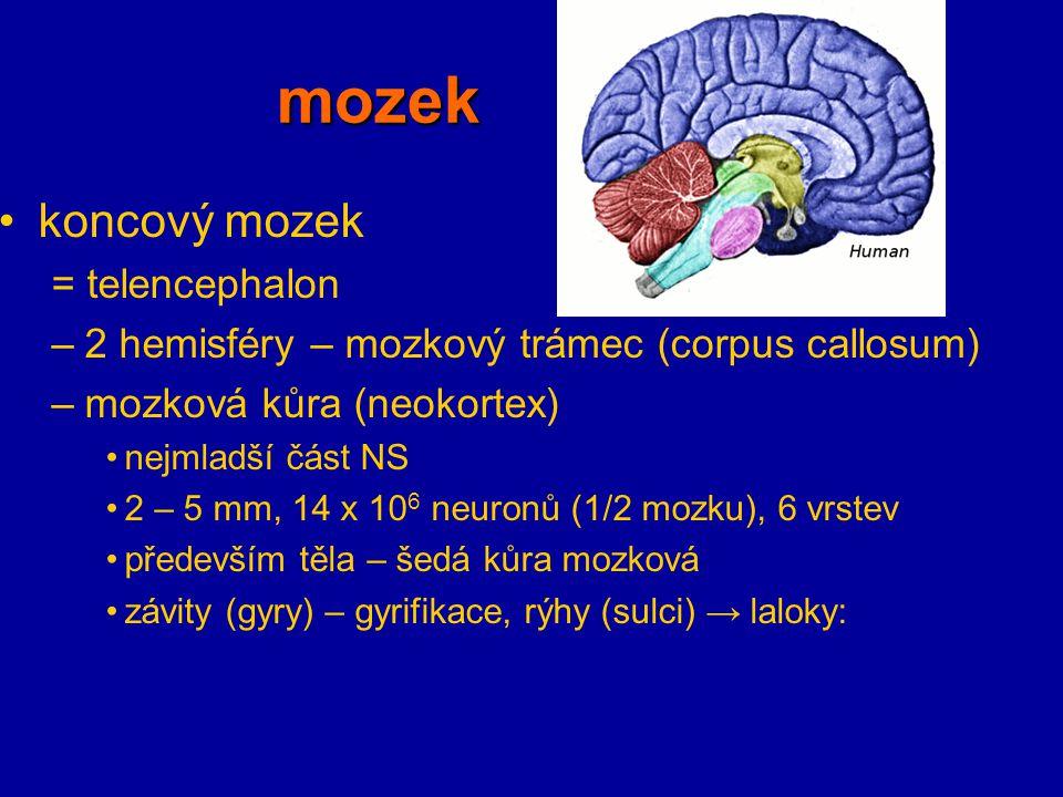 mozek koncový mozek = telencephalon –2 hemisféry – mozkový trámec (corpus callosum) –mozková kůra (neokortex) nejmladší část NS 2 – 5 mm, 14 x 10 6 ne
