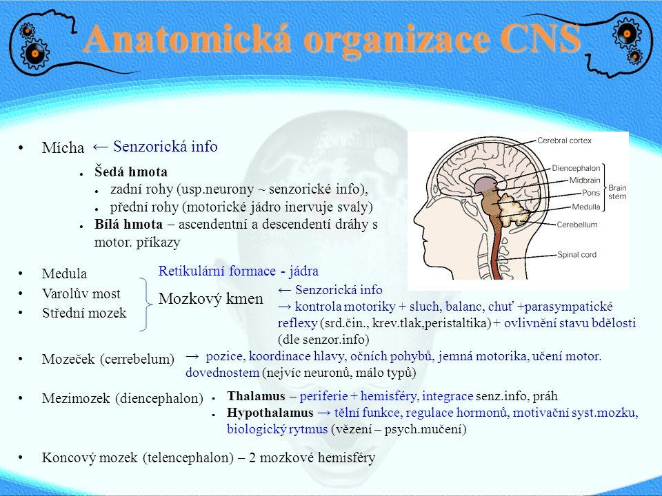 Anatomická organizace CNS Mícha Medula Varolův most Střední mozek Mozeček (cerrebelum) Mezimozek (diencephalon) Koncový mozek (telencephalon) – 2 mozk