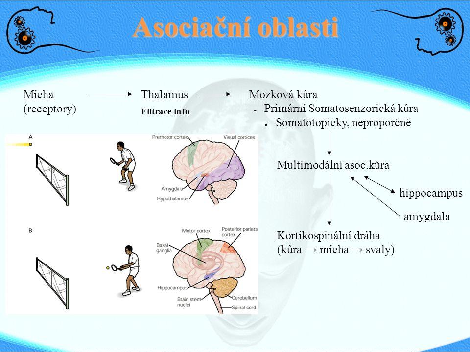Asociační oblasti Mícha (receptory) ThalamusMozková kůra Filtrace info ● Primární Somatosenzorická kůra ● Somatotopicky, neproporčně Multimodální asoc