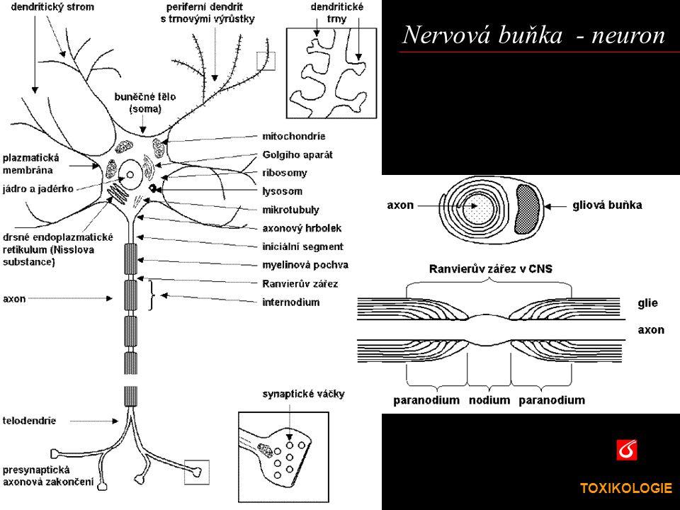 TOXIKOLOGIE VŠCHT Praha Neuron  Neuronové buněčné tělo (soma) kontroluje růst a metabolismus nervových buněk (standardní buněčnáfunkce).