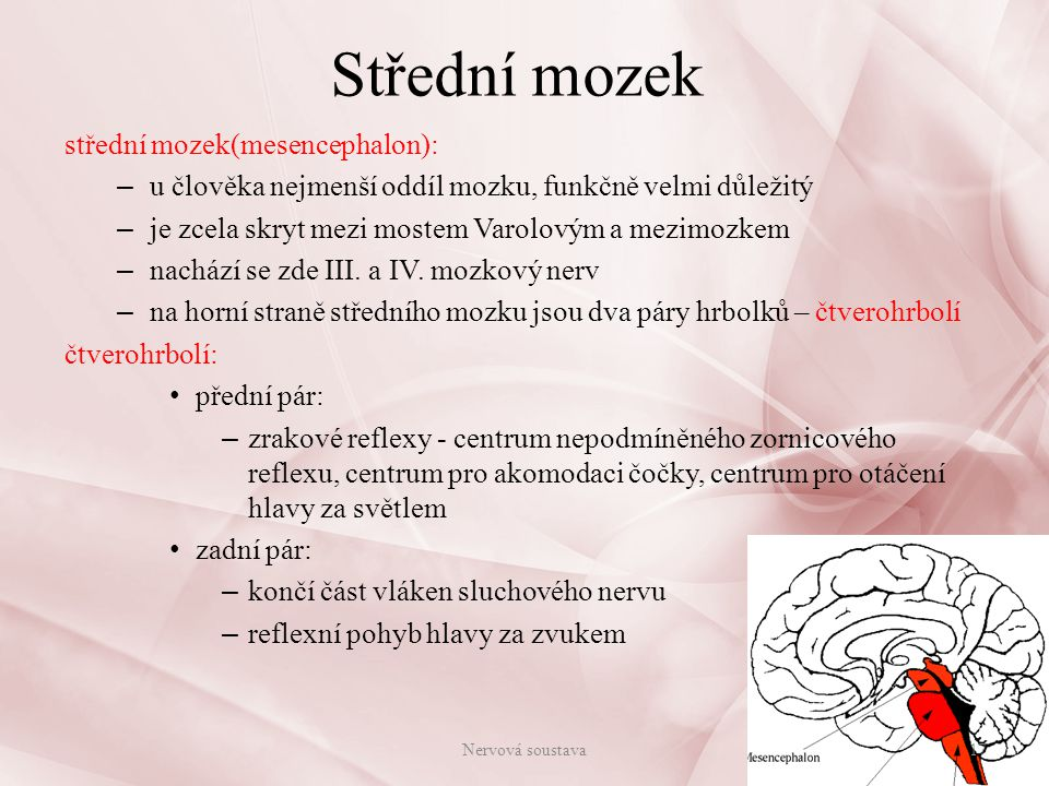 Střední mozek Nervová soustava18